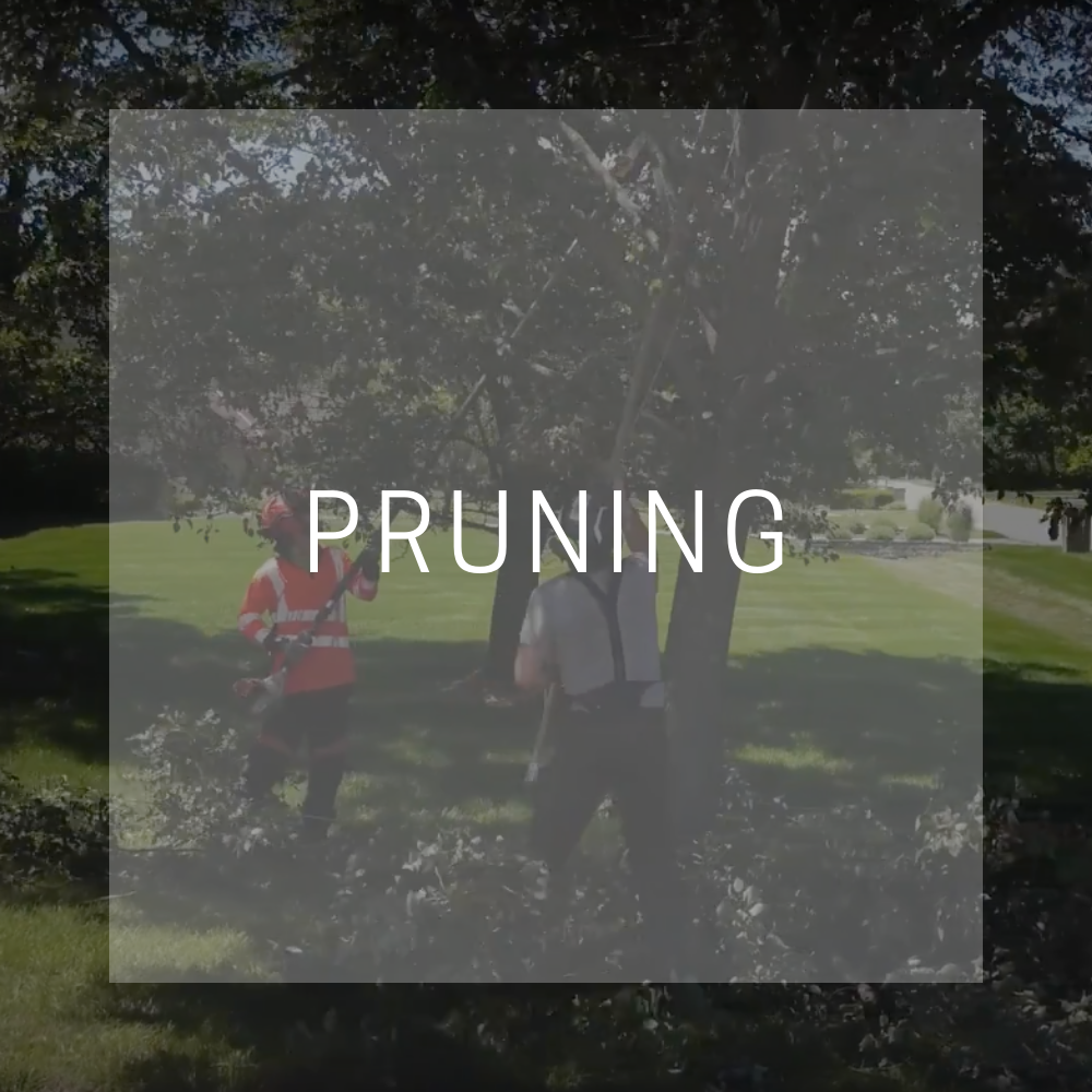 trees-are-my-business-pruning